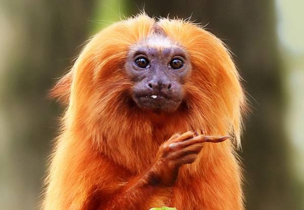 Гороскоп на 2016 год (Огненной обезьяны) - Лев